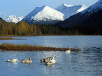 Migrating Swans, Tern Lake Alaska