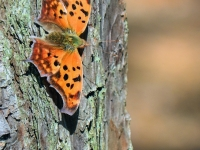 Orange Question Mark Butterfly