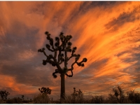 Joshua Tree During A Moody Sunset.
