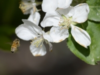 Honey Bee At Work
