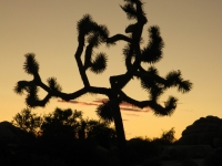 Sunset With A Joshua Tree