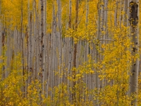 Fall Colors - Aspen