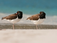 American Oystercatchers Chillin