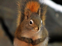 Sorry I Ate All The Bird Seed - Alaska Red Squirrel