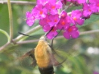 Hummingbird Bee