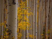 Fall Colors - Colorado (aspen)