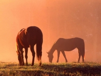 Horses In Sunrise