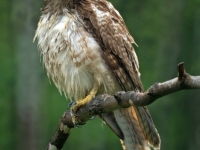 Young Red Tail Hawk