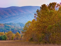 Golden Leaves In Cades Cove