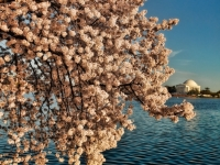 Cherry Blossom On Tidal Basin - 2010