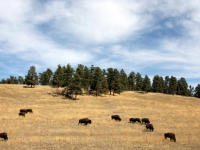 Wild Bison In Beautiful Colorado