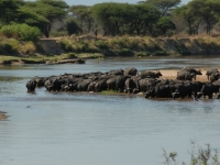 Cape Buffalo On Ruaha River