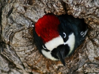 Acorn Woodpecker At Home
