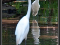 Egrets On The Prowl