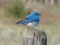 Mountain Bluebird On Loop Road