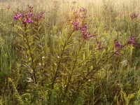 Ironweed And Prairie Grasses