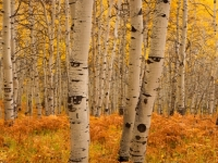 Panorama Of Aspens, Autumn