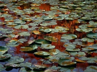 Orange Lily Pads, Cape Cod