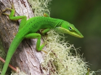 Green Anole - Corkscrew Swamp, Naples Florida