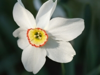 Spot-of-color Daffodil