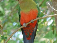 Female King Parrot In The Blue Mountains, Nsw