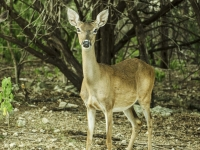 White Tail Doe At Road