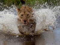 Lioness Crossing Back To Get The Pride