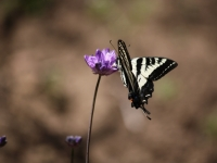 Swallowtail On Blue Dick Wildflower