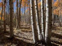 Sude-lit Aspen In Fall