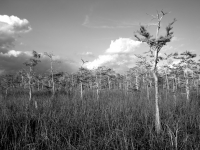 Dwarf Cypress Strand, Everglades National Park