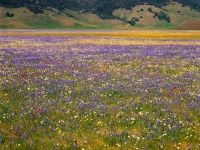 Bear Valley Wildfowers