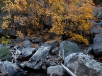 Colorful Oaks In The Merced River Canyon