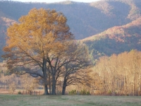 Golden Tree, Cade's Cove
