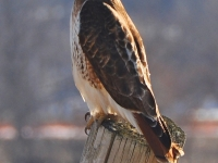 Red-winged Hawk