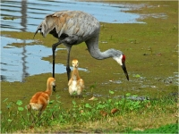 Sandhill Crane Chicks Exploring With Parent