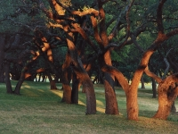Light Dance, Oak Trees, Lbj Ranch