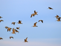 Curlews In Flight