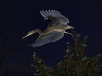 Heron Night Flight