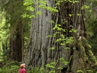 Among Giants, Prairie Creek Redwoods State Park, California