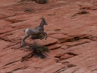 Desert Bighorn Catching Air