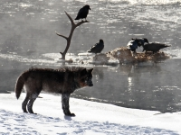 Wolf And Ravens Eating An Elk