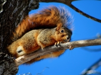 American Red Tail Squirrel