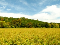 Soybean Field With Autumn Foliage & Blue Sky