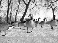 Geese In Lincoln Park