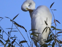 Morning Great Egret