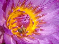 Waterlilly With Bee