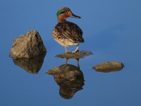 Green-winged Teal Reflection