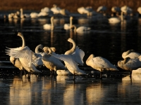 Tundra Swans On Ice