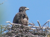 Bald Eagle Fledgling In The Nest