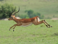 Impala In Flight